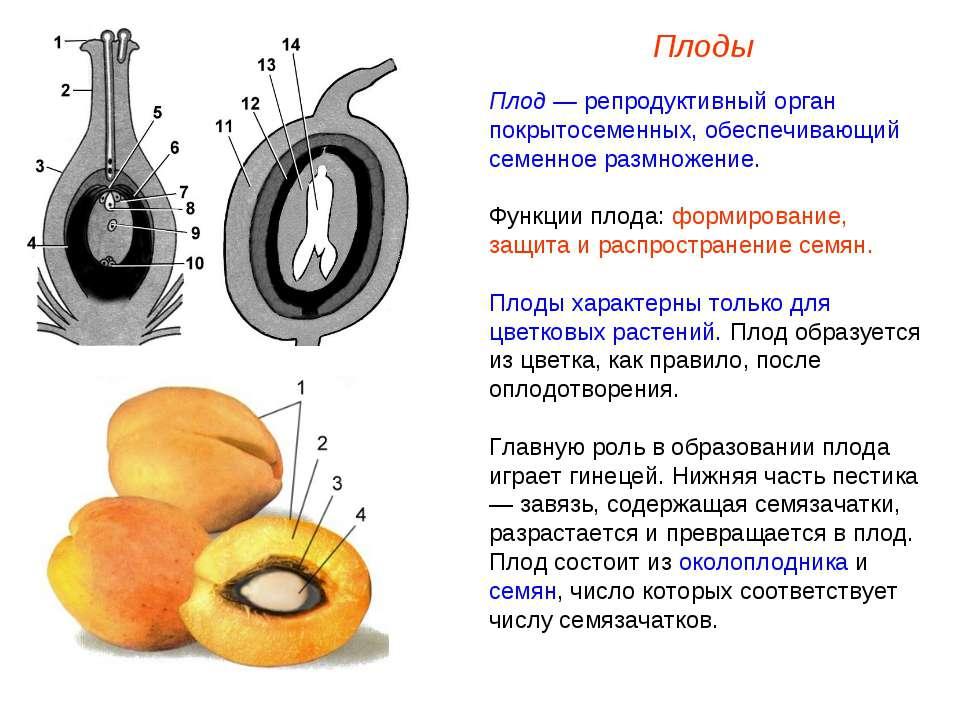 Плод — репродуктивный орган покрытосеменных, обеспечивающий семенное размноже...
