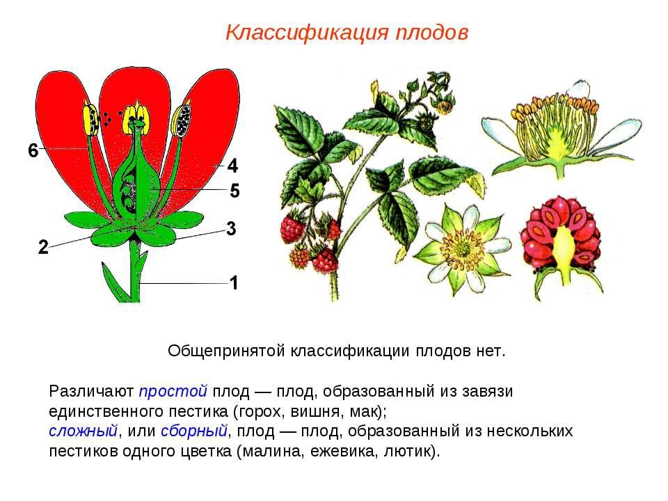 Общепринятой классификации плодов нет. Различают простой плод — плод, образов...