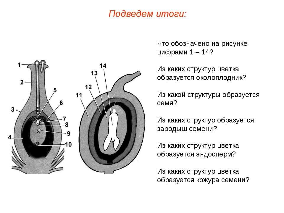 Что обозначено на рисунке цифрами 1 – 14? Из каких структур цветка образуется...
