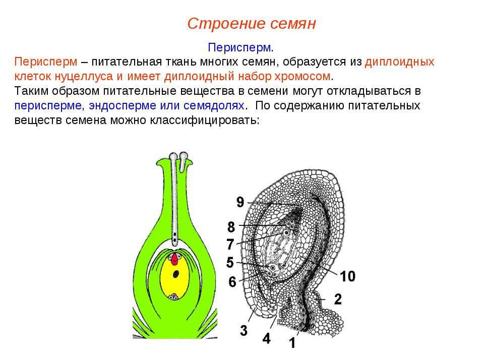 Перисперм. Перисперм – питательная ткань многих семян, образуется из диплоидн...