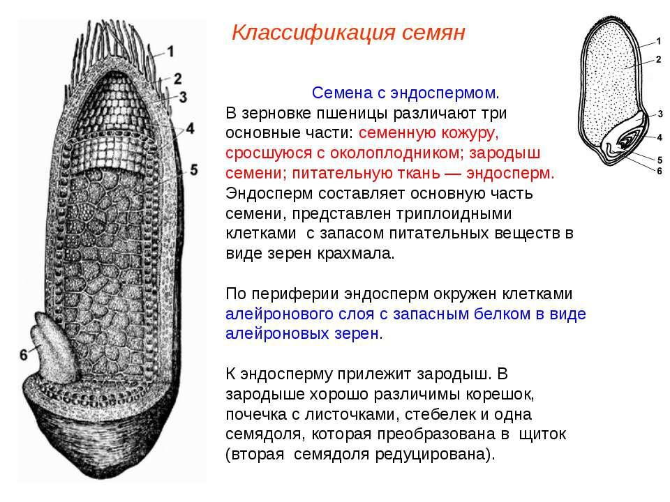 Семена с эндоспермом. В зерновке пшеницы различают три основные части: семенн...