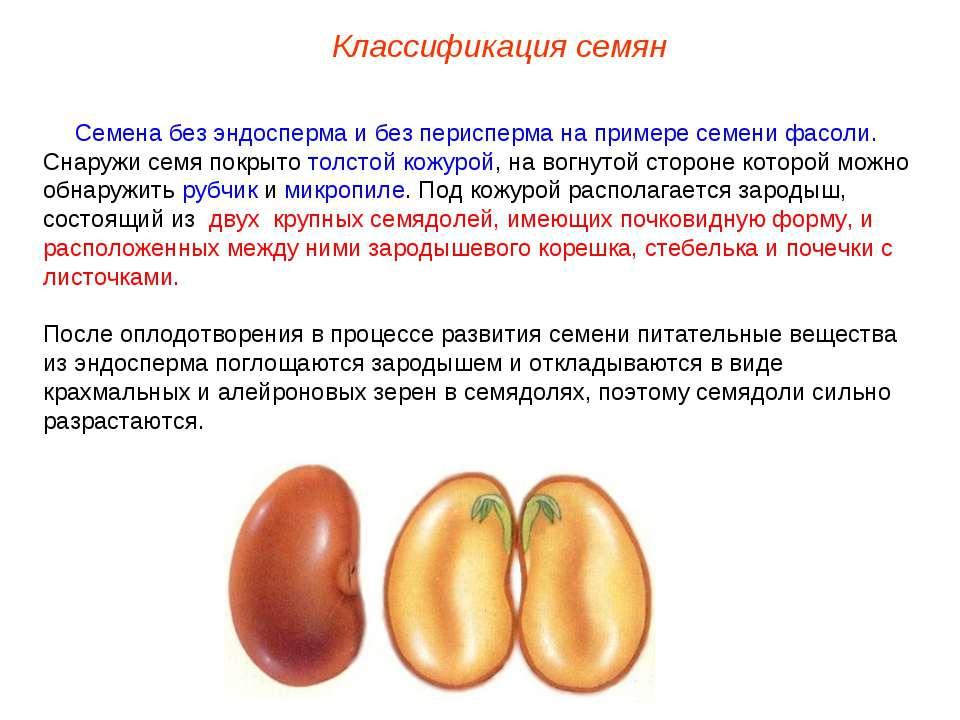 Семя без эндосперма