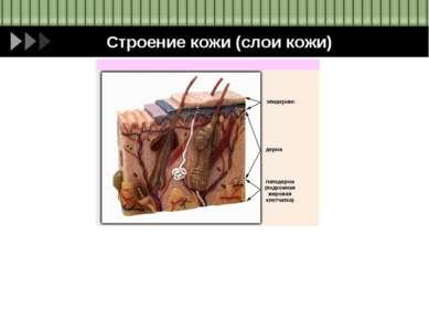 Строение кожи (слои кожи)