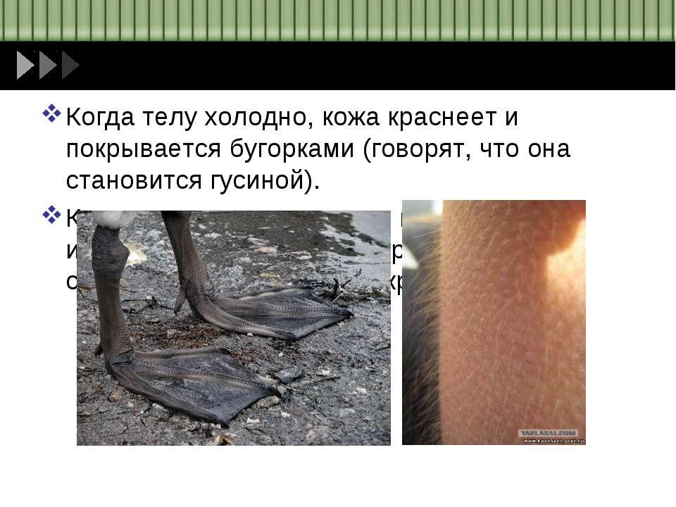 Когда телу холодно, кожа краснеет и покрывается бугорками (говорят, что она с...