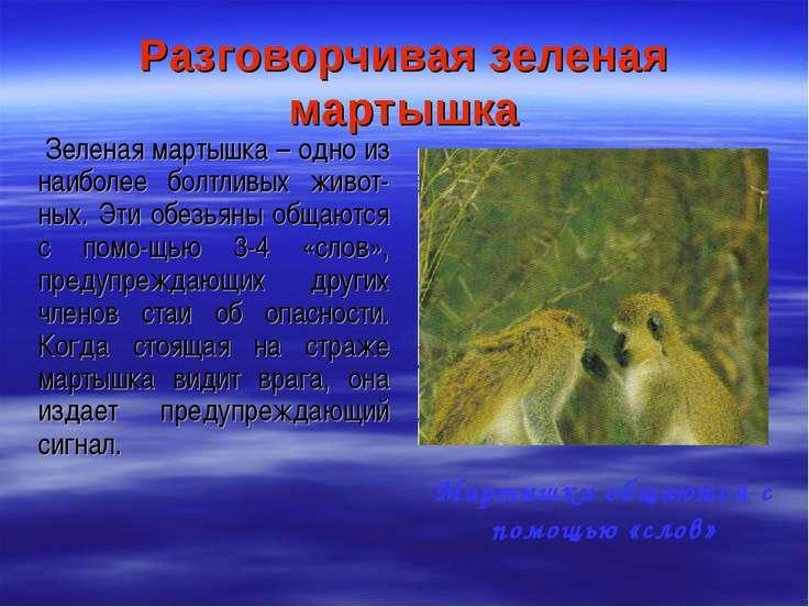 Разговорчивая зеленая мартышка Зеленая мартышка – одно из наиболее болтливых ...