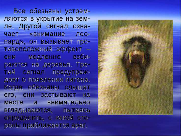 Все обезьяны устрем-ляются в укрытие на зем-ле. Другой сигнал озна-чает «вним...