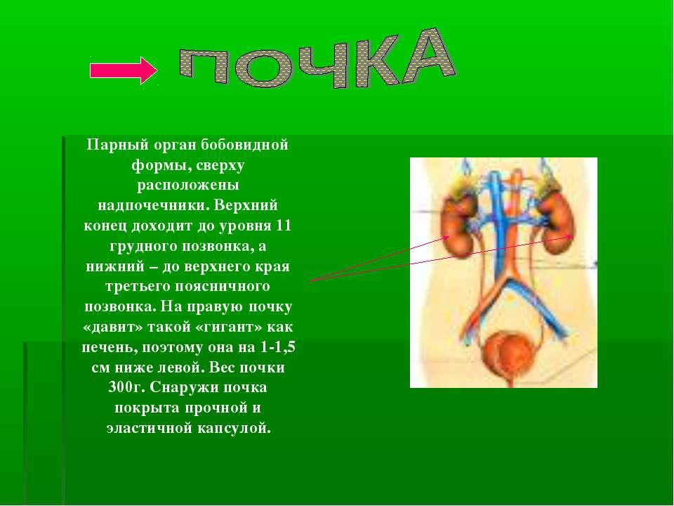 Парный орган бобовидной формы, сверху расположены надпочечники. Верхний конец...