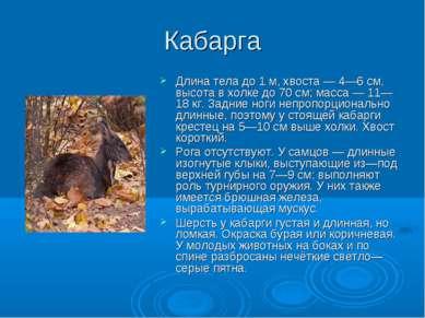 Кабарга Длина тела до 1 м, хвоста — 4—6 см, высота в холке до 70 см; масса — ...