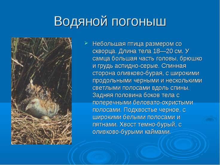 Водяной погоныш Небольшая птица размером со скворца. Длина тела 18—20 см. У с...