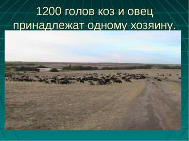 1200 голов коз и овец принадлежат одному хозяину.