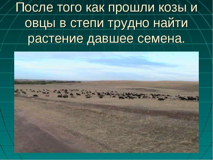 После того как прошли козы и овцы в степи трудно найти растение давшее семена.