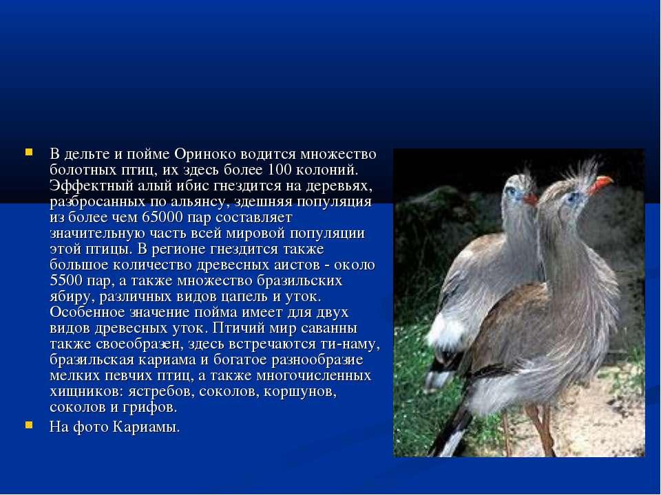 В дельте и пойме Ориноко водится множество болотных птиц, их здесь более 100 ...
