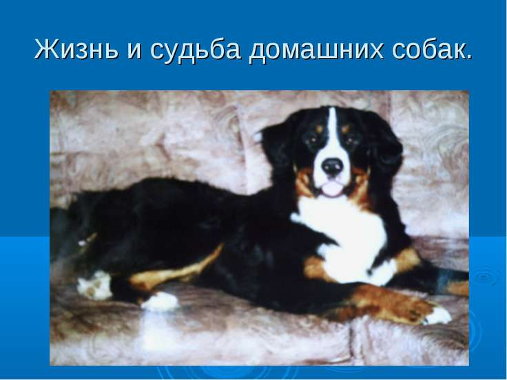 Жизнь и судьба домашних собак.