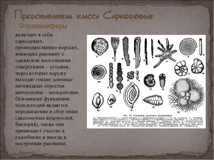 Фораминиферы . включает в себя саркодовых, преимущественно морских, имеющих р...