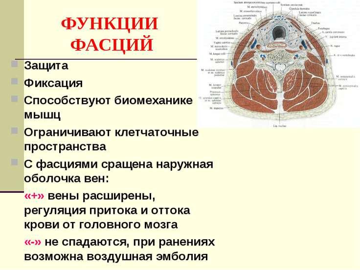 ФУНКЦИИ ФАСЦИЙ Защита Фиксация Способствуют биомеханике мышц Ограничивают кле...