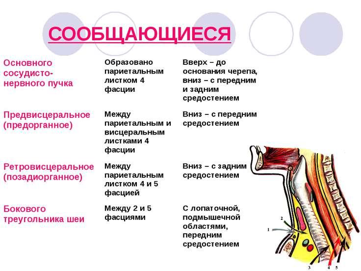 СООБЩАЮЩИЕСЯ Основного сосудисто- нервного пучка Образовано париетальным лист...