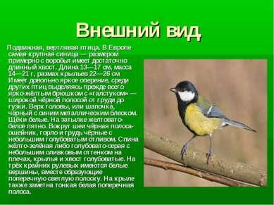 Внешний вид. Подвижная, вертлявая птица. В Европе самая крупная синица— разм...