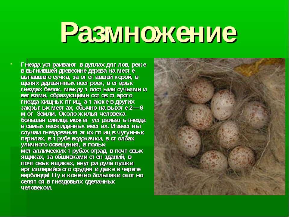 Размножение Гнезда устраивают в дуплах дятлов, реже в выгнившей древесине дер...