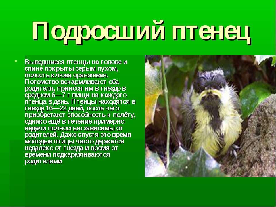 Подросший птенец Выведшиеся птенцы на голове и спине покрыты серым пухом, пол...