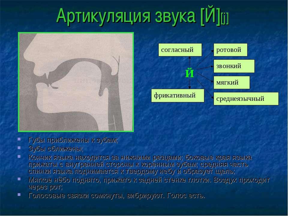 Артикуляция звука [Й][j] Губы приближены к зубам; Зубы сближены; Кончик языка...