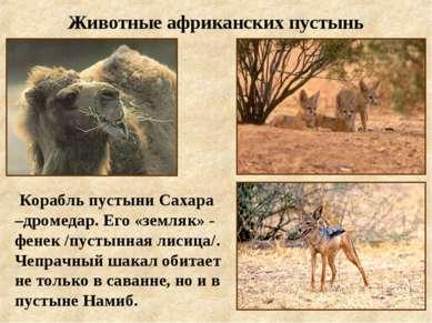 Животные африканских пустынь Корабль пустыни Сахара –дромедар. Его «земляк» -...