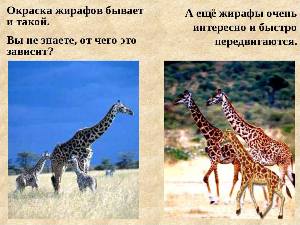 Окраска жирафов бывает и такой. Вы не знаете, от чего это зависит? А ещё жира...