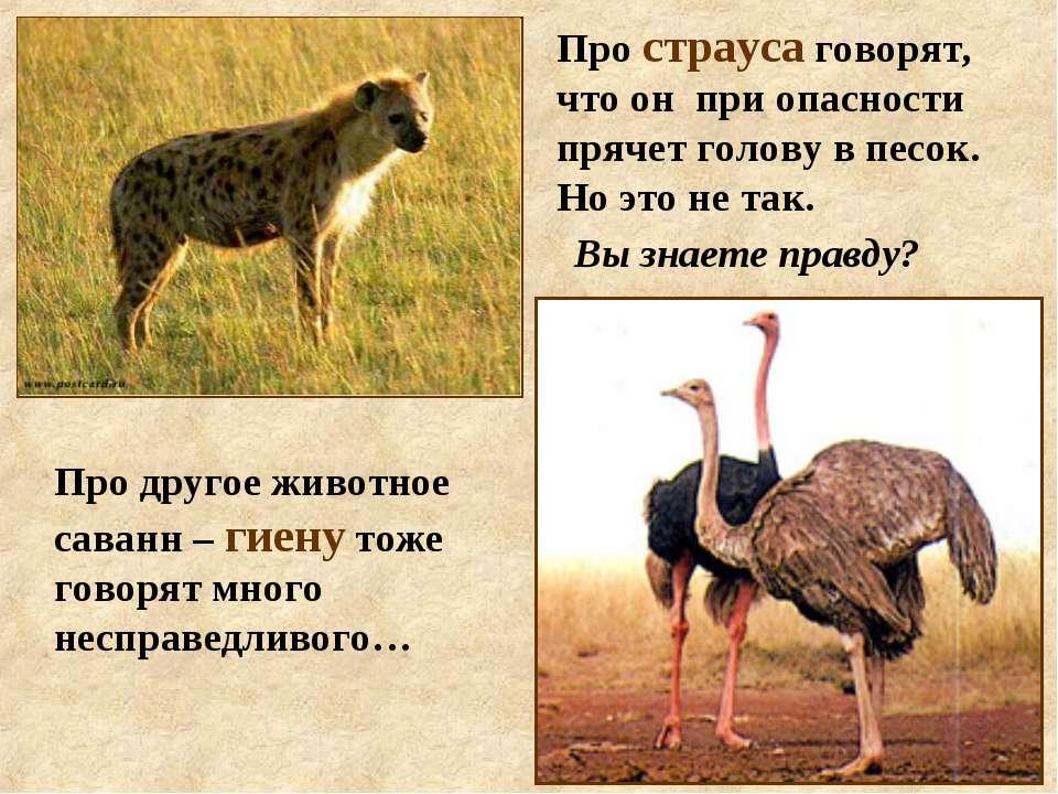 Про страуса говорят, что он при опасности прячет голову в песок. Но это не та...