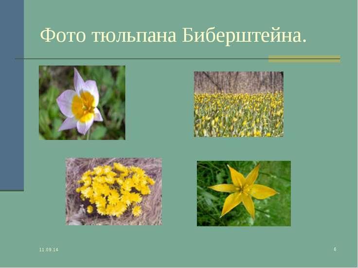 * * Фото тюльпана Биберштейна.