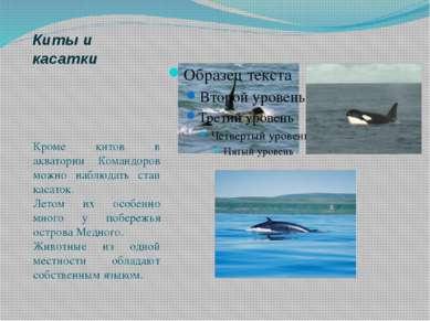 Киты и касатки Кроме китов в акватории Командоров можно наблюдать стаи касато...