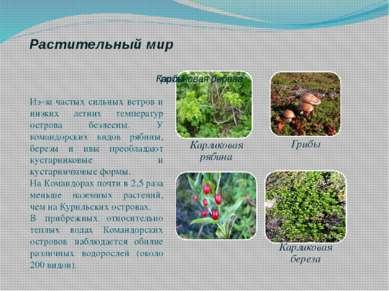 Растительный мир Из-за частых сильных ветров и низких летних температур остро...
