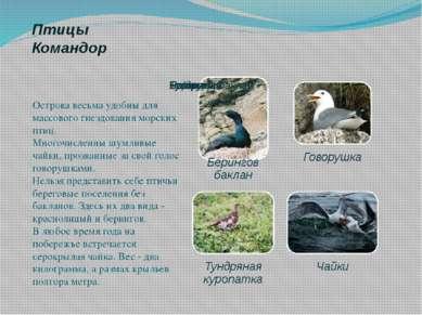Птицы Командор Острова весьма удобны для массового гнездования морских птиц. ...