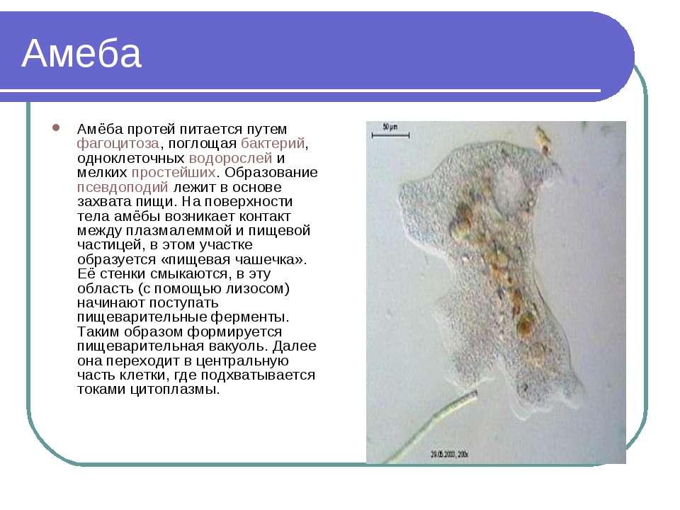 Амеба Амёба протей питается путем фагоцитоза, поглощая бактерий, одноклеточны...
