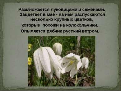 Размножается луковицами и семенами. Зацветает в мае - на нём распускаются нес...