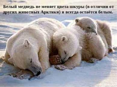 Белый медведь не меняет цвета шкуры (в отличии от других животных Арктики) и ...