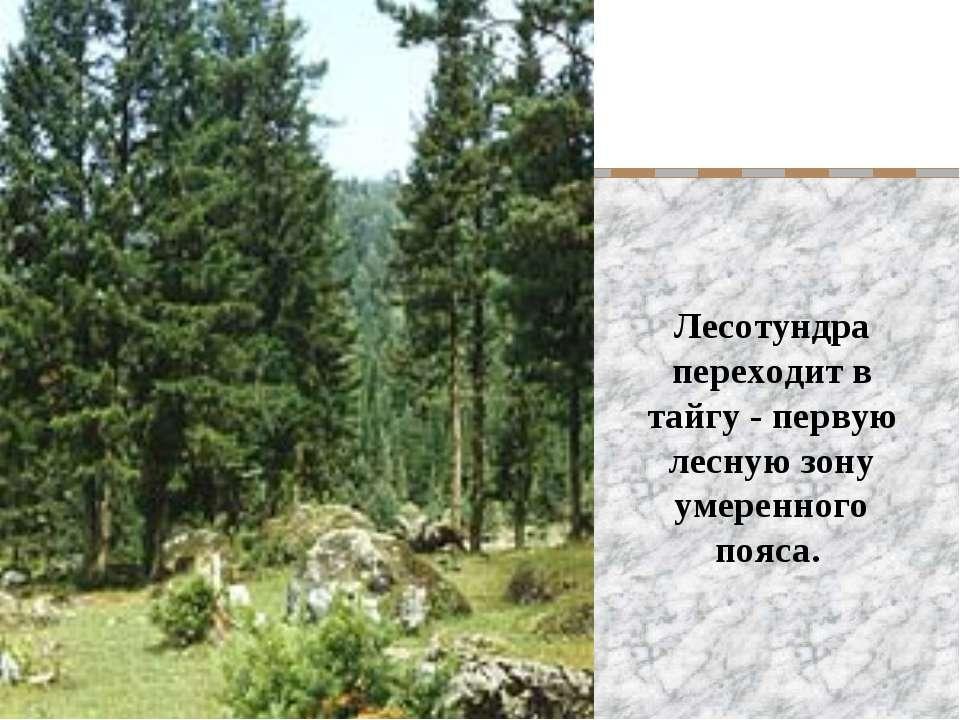 Лесотундра переходит в тайгу - первую лесную зону умеренного пояса.