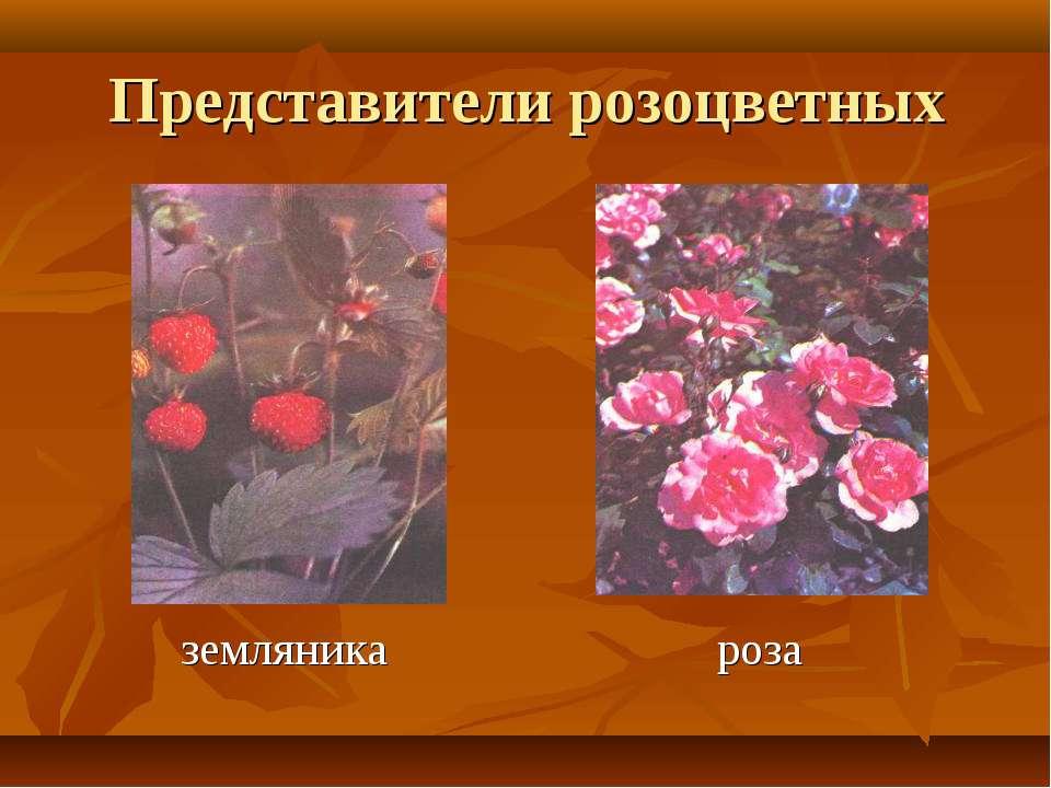 Представители розоцветных земляника роза