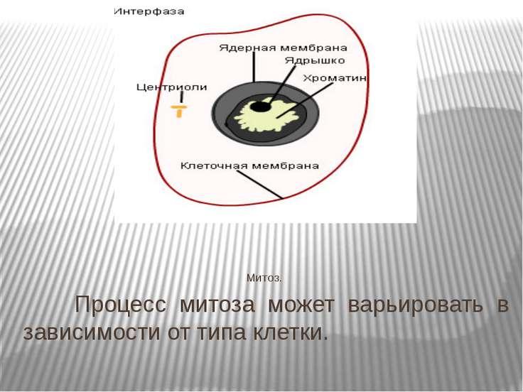 Митоз. Процесс митоза может варьировать в зависимости от типа клетки.