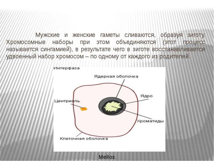 Мужские и женские гаметы сливаются, образуя зиготу. Хромосомные наборы при эт...