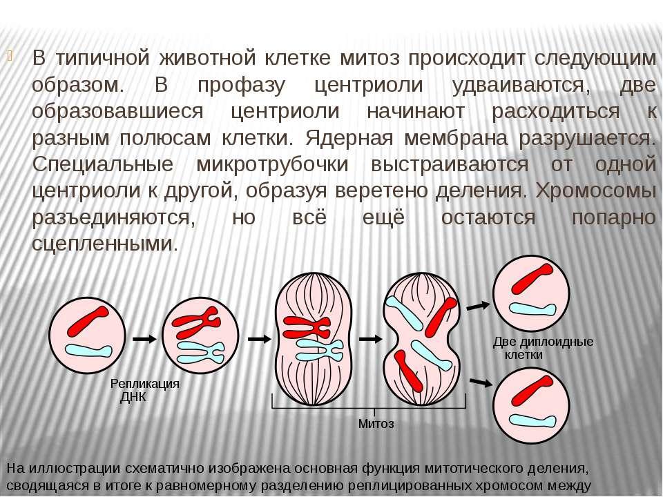 В типичной животной клетке митоз происходит следующим образом. В профазу цент...
