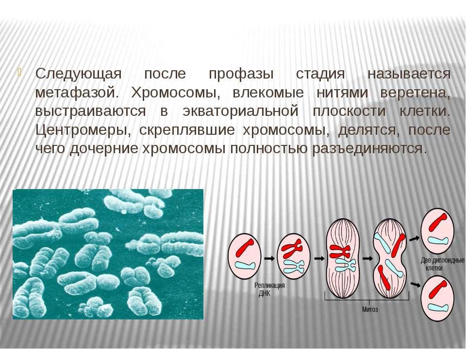 Следующая после профазы стадия называется метафазой. Хромосомы, влекомые нитя...