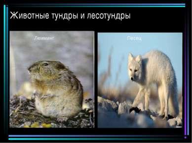 Животные тундры и лесотундры Песец Лемминг