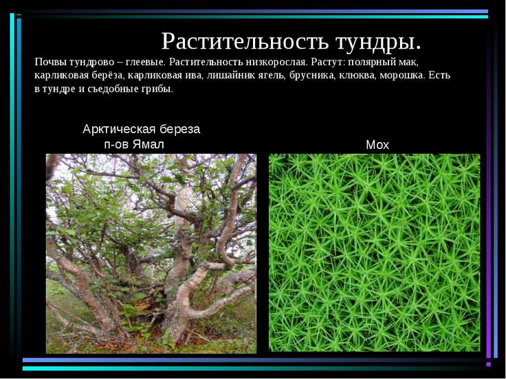 Растительность тундры. Почвы тундрово – глеевые. Растительность низкорослая. ...