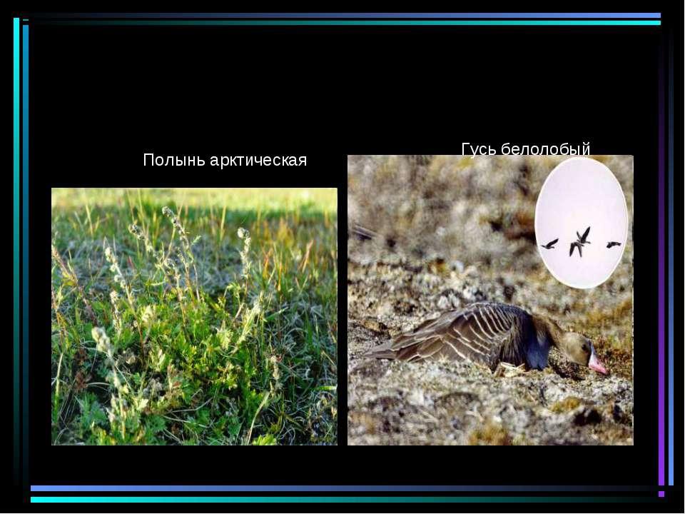 Полынь арктическая Гусь белолобый