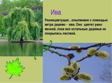 Ива Раннецветущее , опыляемое с помощью ветра дерево - ива. Оно цветет рано в...