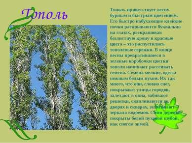 Тополь Тополь приветствует весну бурным и быстрым цветением. Его быстро набух...