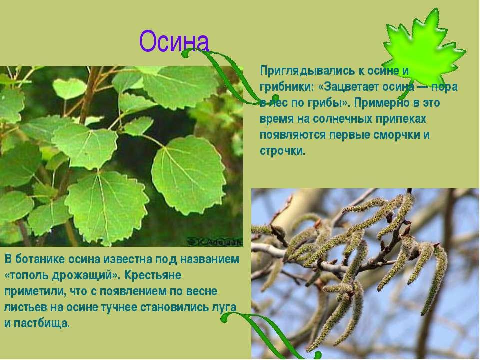 Осина В ботанике осина известна под названием «тополь дрожащий». Крестьяне пр...