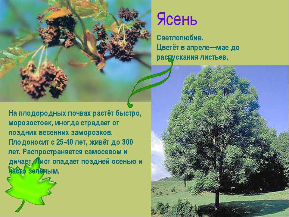Ясень Светлолюбив. Цветёт в апреле—мае до распускания листьев, На плодородных...