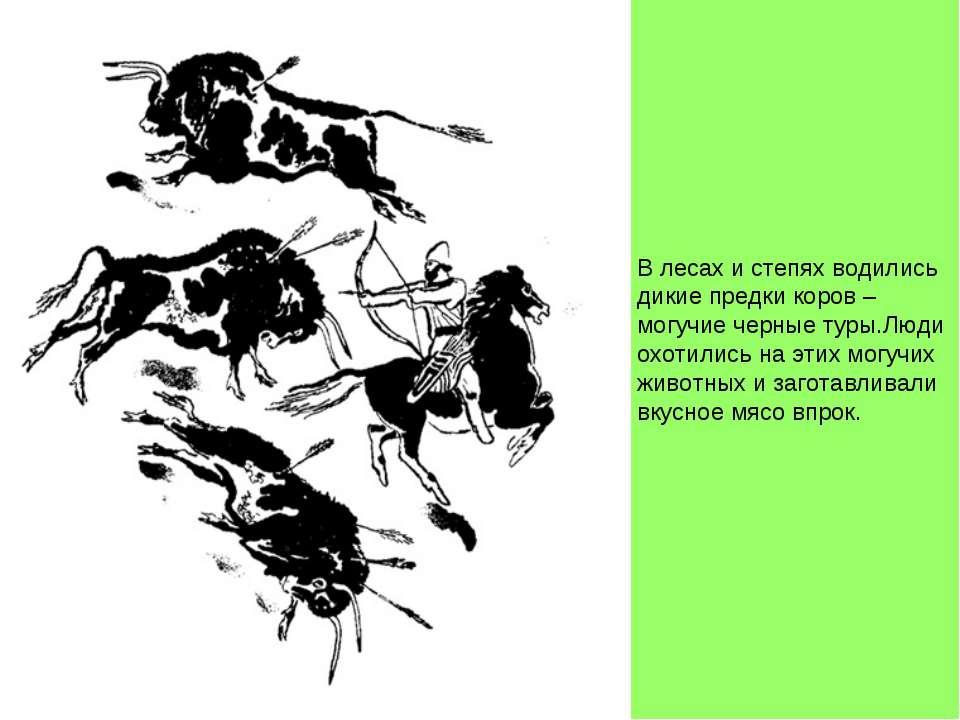 В лесах и степях водились дикие предки коров – могучие черные туры.Люди охоти...