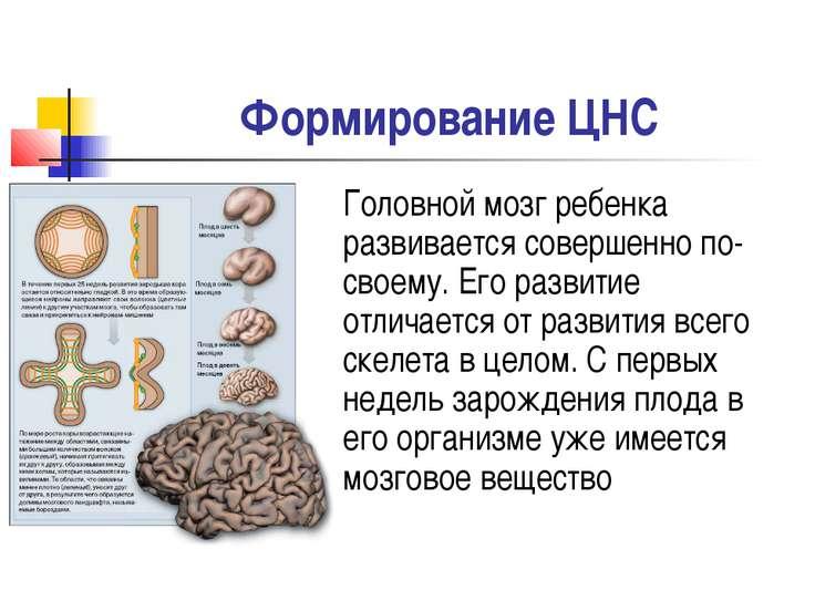 Формирование ЦНС Головной мозг ребенка развивается совершенно по-своему. Его ...