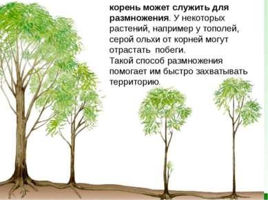 корень может служить для размножения. У некоторых растений, например утополе...